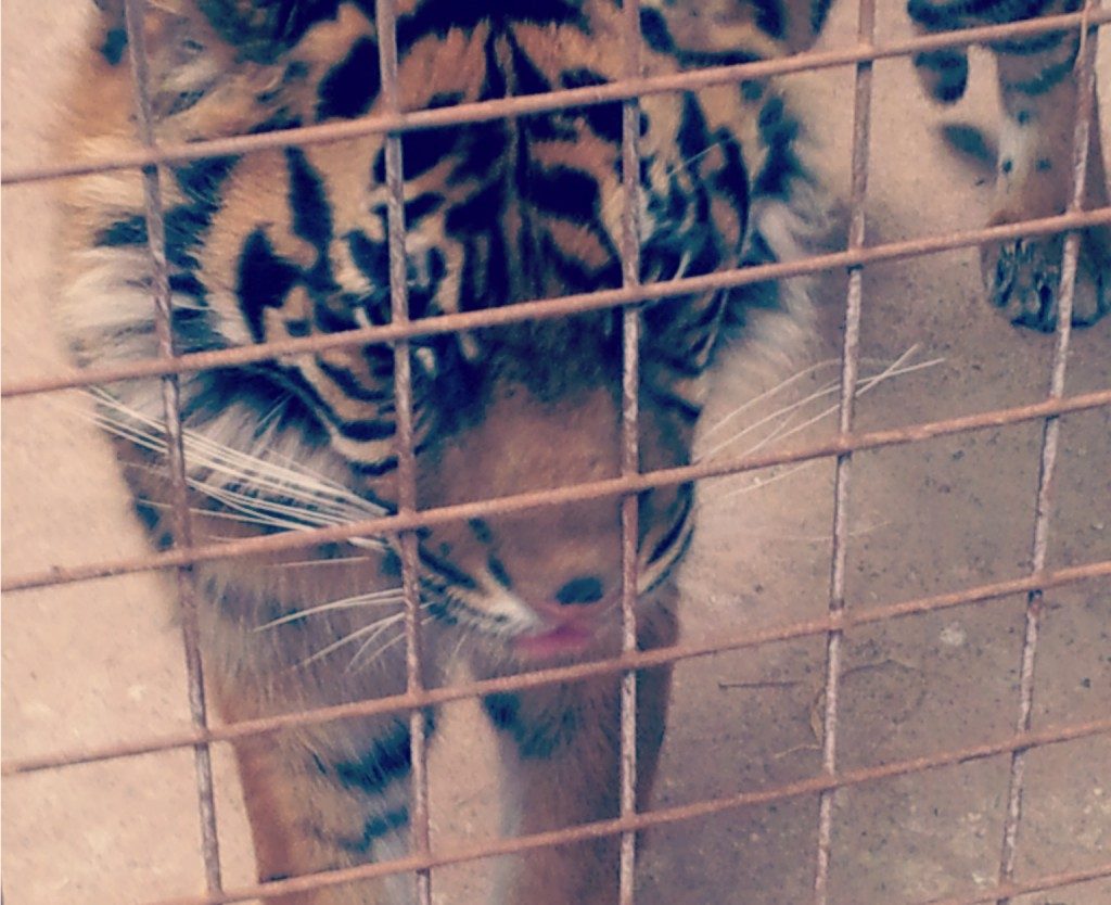 tiger in cage.jpg