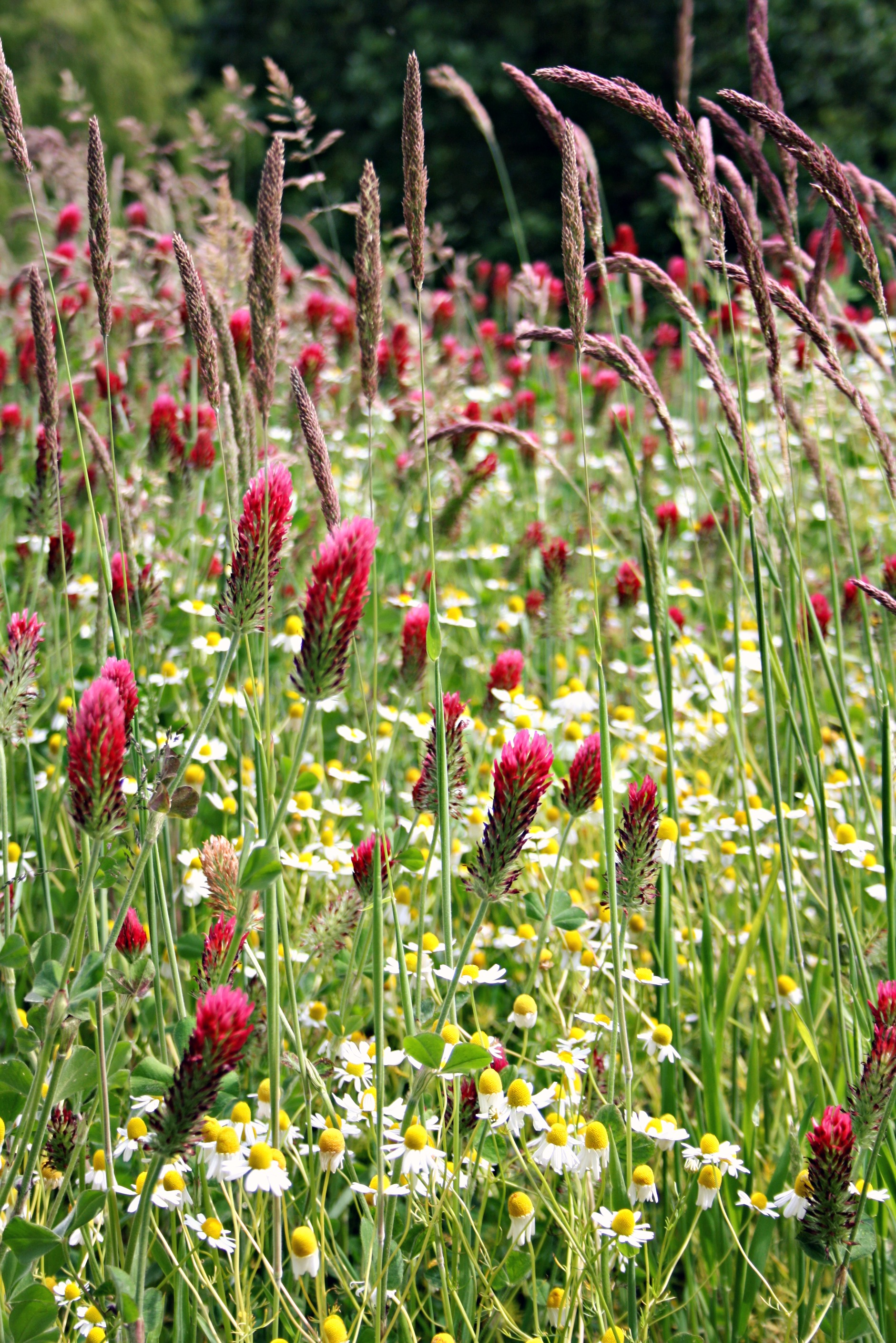 Red grasses meadow Weleda